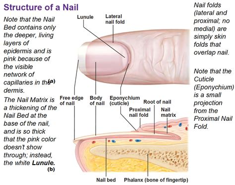 what is a nail bed integumentary system part 2