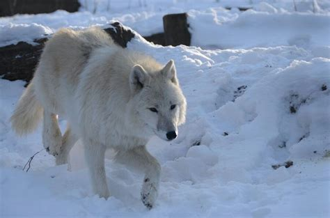 Seven White Wolves 49 best humility wolf images on shamanism