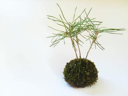 Medium Japanese Mossball 581 best images about kokedama on plants