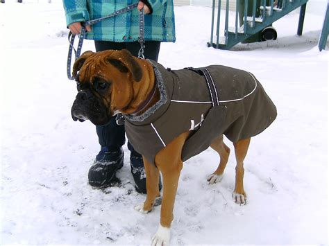 boxer clothes coats for boxers photo 1 dress the clothes for your pets