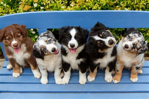 Do Border Collie Shed by Best 25 Australian Shepherd Dogs Ideas On Do Australian Shepherds Shed Australian