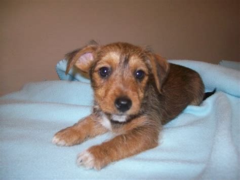 Small Dogs Home Walsall Yorkie Terrier X Puppy S Walsall West