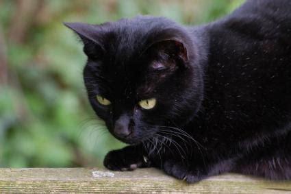 black cat black cats lovetoknow