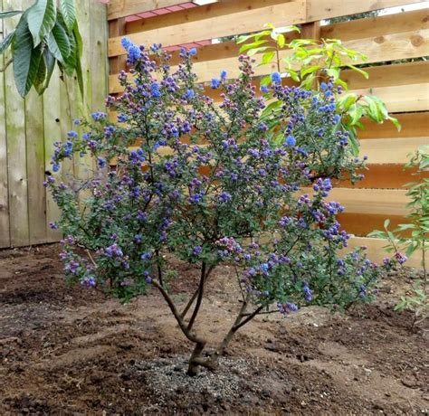 Vase Shaped Shrubs by 25 Best Ideas About Drought Tolerant Trees On