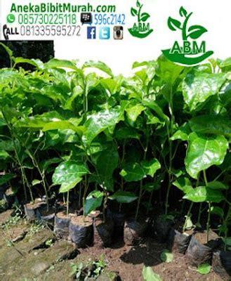 jual bibit markisa murah jual bibit tanaman murah