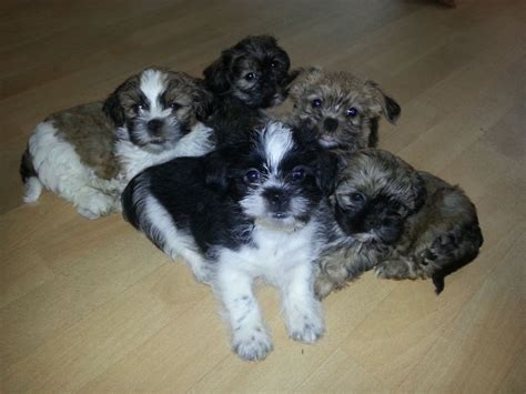 shih tzu for sale in kent shih tzu puppies for sale ready to go gravesend kent pets4homes