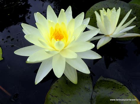 lilies or lillies hardy water lilies lotus