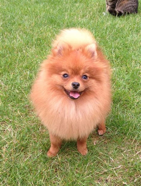 orange pomeranian 4th pedigree orange pomeranian 10mth pup bridgwater somerset pets4homes