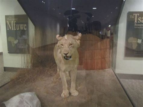 film man eating lion 49 best chicago field museum images on pinterest museums