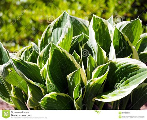 ornamental foliage plants hosta stock photo image 64436300