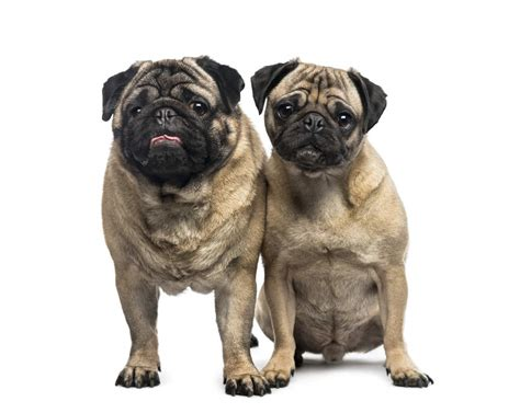 two pugs pug dogs breed information omlet