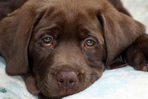 sad puppy pics sad puppy by daylin wright
