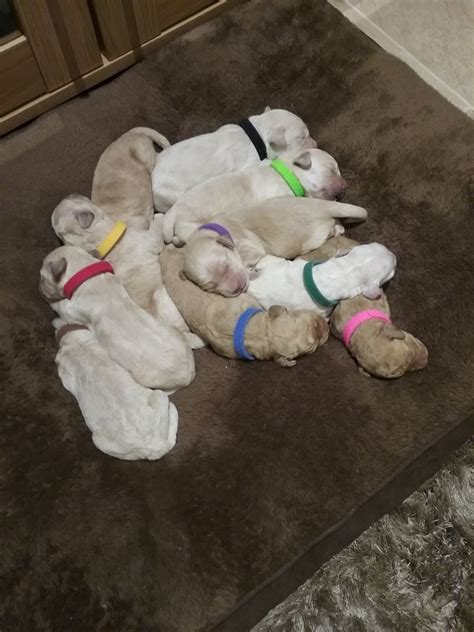 mini doodles hereford miniature f1 goldendoodles hereford herefordshire