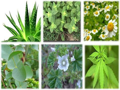 sciseek image plantas medicinales