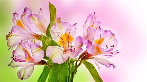wallpaper pink lilies hd  flowers