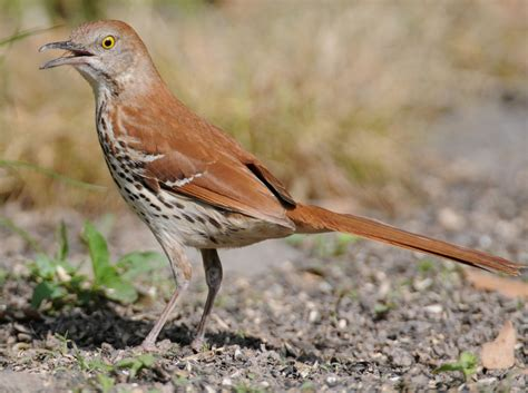 brown thrasher columbia south carolina love that color