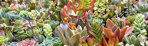 Mountain Crest Gardens by Soft Succulents Tender Succulents Mountain Crest Gardens
