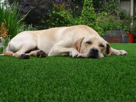 its a dogs its a dogs with verde artificial grass