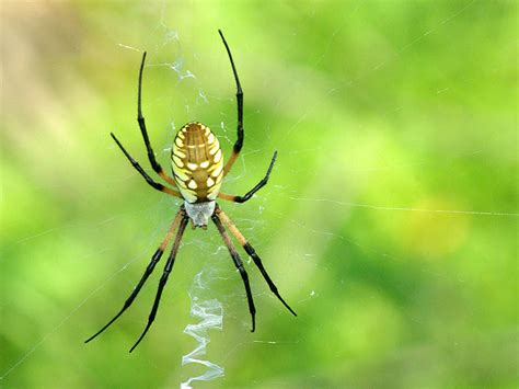Garden Spider Behavior by Black And Yellow Garden Spider Dfw Wildlife