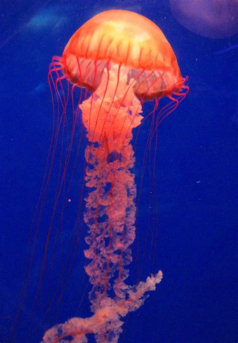 The Daily Apple: Apple #486: Jellyfish