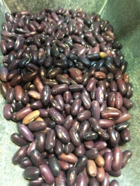 heirloom provider bush green bean seeds  pound