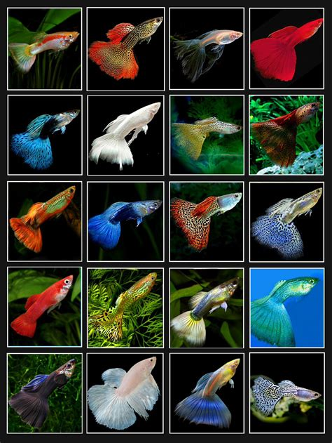 types of aquarium fish guppy colors tanked pinterest guppy aquariums and fish