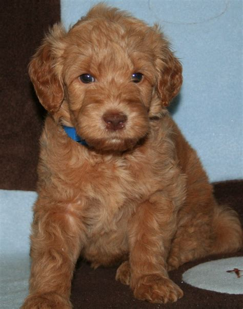 doodle retriever puppy miniature goldendoodle golden retriever poodle mix info