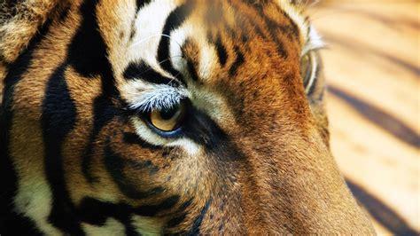 imagenes de tigres verdes fondo de pantalla ojos de tigre 2048x1152 fondo de