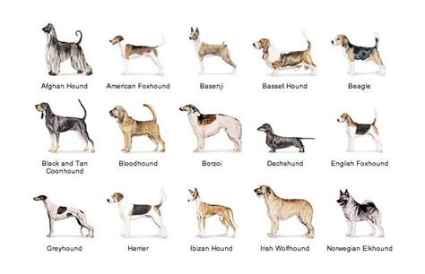 other breeds of dogs site popular hound breeds