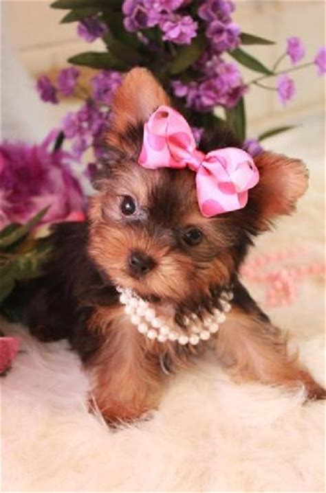 yorkie greenwood biewer yorkie biewer yorkies greenwood terriers yorkies