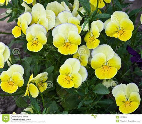 panse fiore fiori gialli della pans 233 fotografie stock immagine 31510513