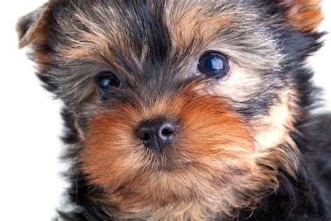 how does a teacup yorkie live top quality tiny teacup terriers well known as yorkies breeds picture