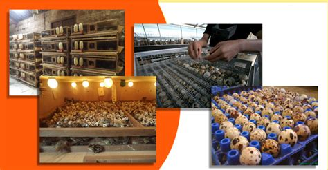 Jual Bibit Ayam Petelur Tangerang jual bibit puyuh kandang puyuh telur puyuh