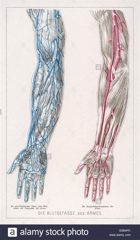 vein diagram of arm diagram to show the network of veins and arteries in the