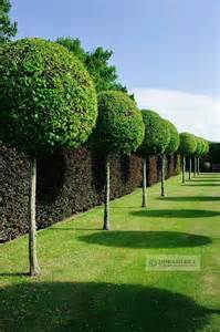 Gardeners Supply Lollipop Tree 52 Best Topiary Trees And Pleaching Images On