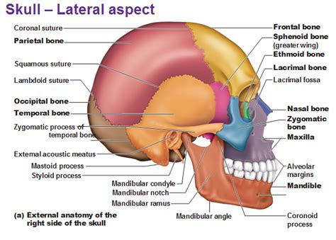 Toothpick by External Anatomy Of The Lateral Skull Right Side