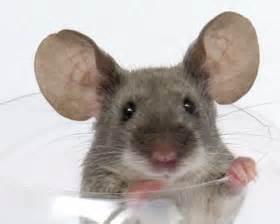 les souris de type show masouris fr le site sur la