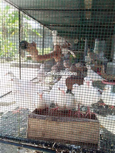 Tempat Pakan Burung Puter bmkg bf penangkaran burung perkutut dan puter di ging