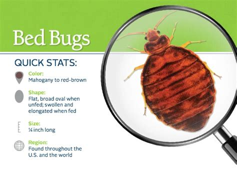 bed bug cleaning everything you need to know about bed bugs bed bugs