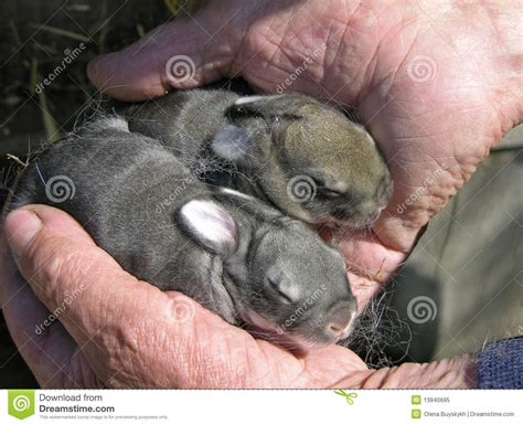 newborn rabbits royalty free stock photo image 13940695