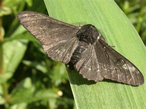 Peppered Moth jumping gene painted the peppered moth black d brief