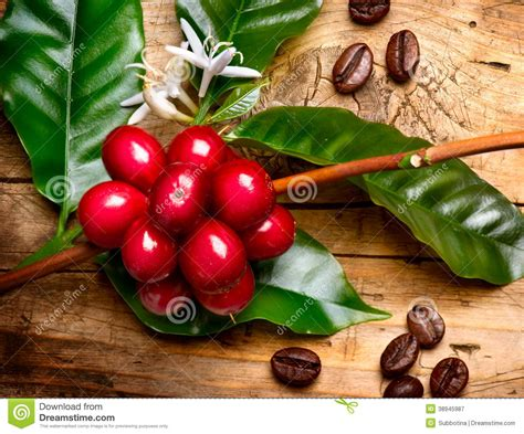 Red Coffee Beans On A Branch Stock Image   Image: 38945987