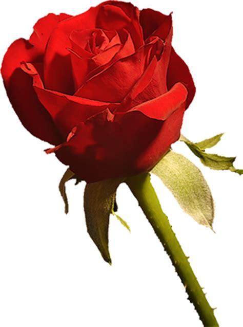 Imagenes Rosas Sin Fondo | fotoimagenes sinpalabras las mejores rosas sin fondo