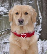 golden retriever collars 1000 images about how they re wearing it our friends jewels on