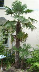 palmier oui mais lequel au jardin forum de jardinage