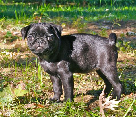 pug puppies wiki file black pug puppy png wikimedia commons