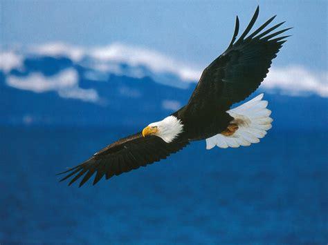 google images eagle bald eagle america