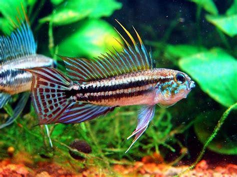 Ikan Apisto Agassizi Gold Apistogramma Agassizi Gold apistogramma bitaeniata peces y peceras