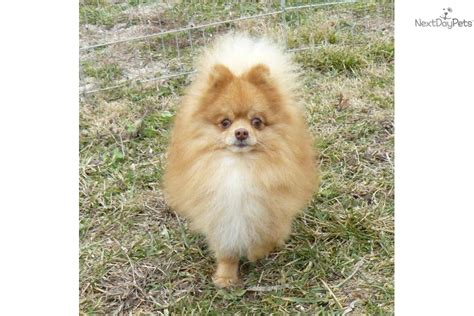 chocolate brown pomeranian puppies for sale pomeranian puppy for sale near springfield missouri ac4c6f78 21b1