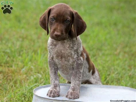 gsp puppy chelsie german shorthaired pointer puppy for sale from harrisburg pa dogs